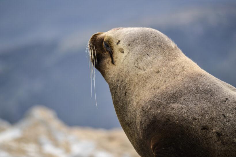 Patagonia Seal